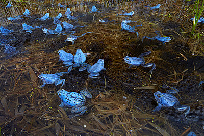 Blue frogs - p719m800702 by Rudi Sebastian