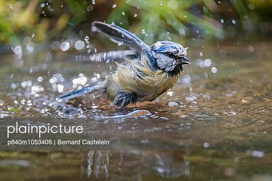 Blue tit  bathing, Brasschaat, Belgium, May. - p840m1053405 by Bernard Castelein