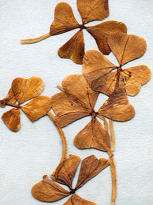 Vierblättrige Kleeblätter - p1710337 von Rolau
