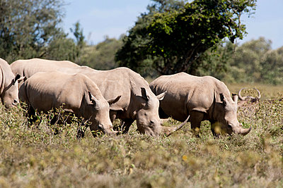 White rhinoceros - p533m1003311 by Böhm Monika