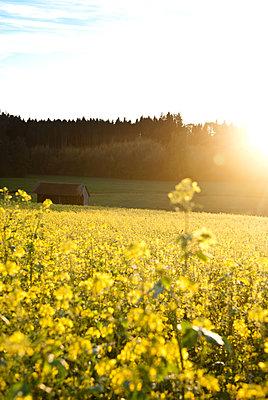 Rapsfeld im Sonnenuntergang - p533m1573821 von Böhm Monika