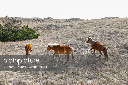 Wild Horses along the Outer Banks of North Carolina. - p1166m2130856 by Cavan Images