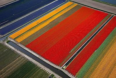 Tulip blooming season - p1120m899959 by Siebe Swart