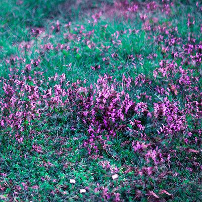 Purple blooming flowers, multiple exposure - p1640m2245902 by Holly & John