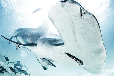 Great Hammerhead Shark, diver in background - p429m1135310f by Ken Kiefer 2