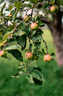 Apples on the tree - p947m2209400 by Cristopher Civitillo