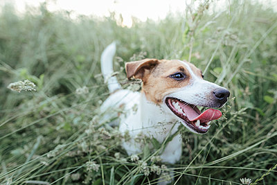Portrait of Jack Russel Terrier on a meadow - p300m2004714 by Katharina Mikhrin