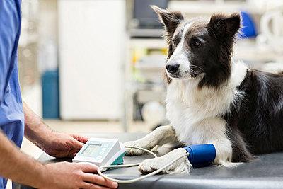 Veterinarian examining dog in vet's surgery - p1023m769130f by Robert Daly