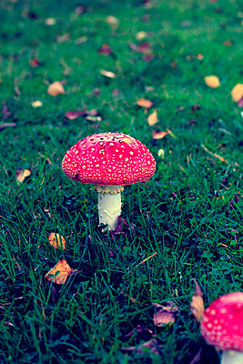 Fly agaric - p879m1115378 by nico