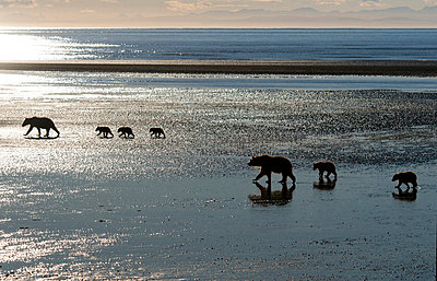 Grizzly Bear mothers and cubs walking on mudflat, Cook Inlet, Alaska - p884m1135749 by Rob Reijnen