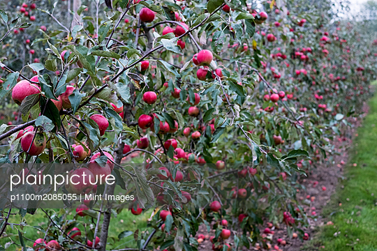 Apple trees in an organic orchard garden in autumn, red fruits ready for picking on branches of espaliered fruit trees.  - p1100m2085055 by Mint Images
