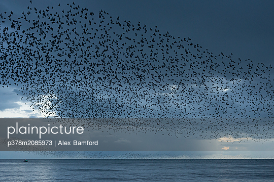 Murmuration   - p378m2085973 by Alex Bamford