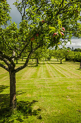 Apple tree - p1047m940456 by Sally Mundy