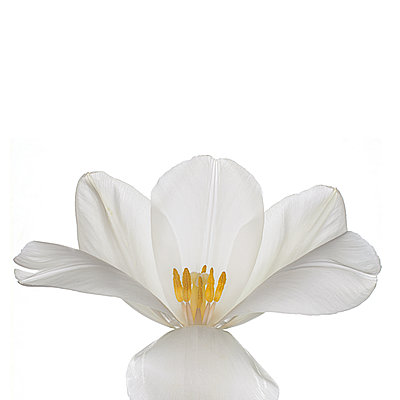 White tulip on white - p1470m1540400 by julie davenport