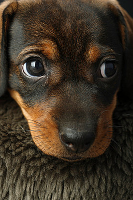Sausage dog - p4030935 by Helge Sauber