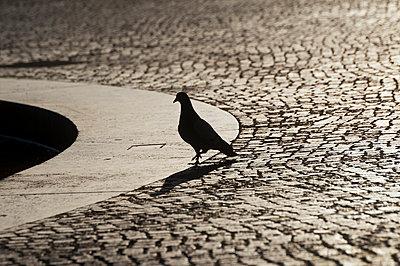 Pidgeon - p229m1034614 by Martin Langer