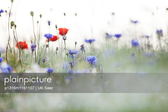 Blumenwiese mit Kornblumen und Mohn, Rügen, Mecklenburg-Vorpommern, Deutschland - p1316m1161107 von Ulli Seer