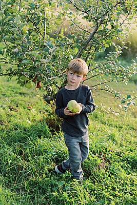Toddler holding a huge apple he has just picked. - p1166m2151888 by Cavan Images
