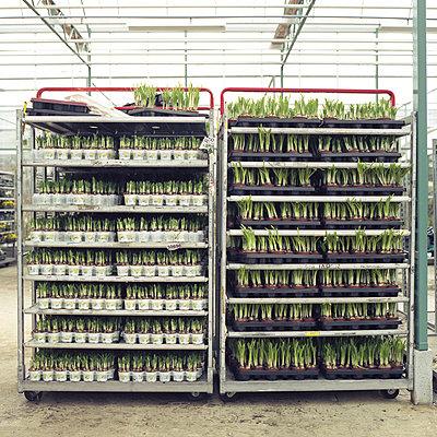 Regale mit Narzissen im Gartencenter, Holland - p1026m834358 by Alexandra Dost
