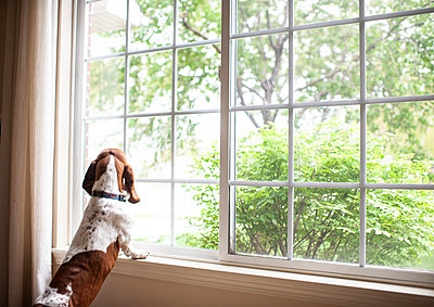 Basset hound dog staring out the window waiting at home - p1166m2137323 by Cavan Images