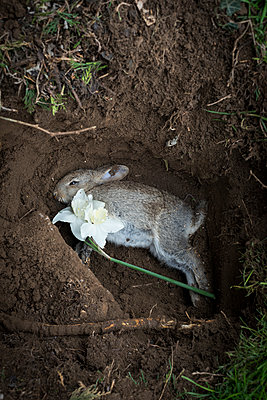Dead rabbit in a grave with two white narcissi - p1433m1526047 by Wolf Kettler