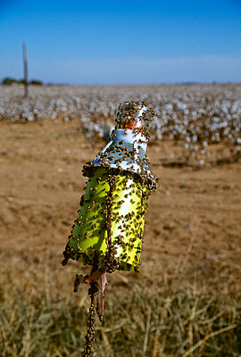 Agriculture - A Boll weevil insect trap covered with adult Boll weevils next to a cotton field / Texas, USA. - p442m2154628 by Debra Ferguson