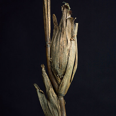 Withered maize - p8130467 by B.Jaubert