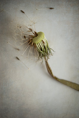Close-up of a decaying dandelion seedhead - p1047m1109665 by Sally Mundy
