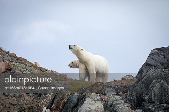 Polar bear explores rocky shoreline, Torngats Mountains National Park - p1166m2131094 by Cavan Images