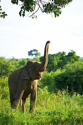 Elefant, Udawalawe-Nationalpark, Sabaragamuwa - p1259m1109545 von J.-P. Westermann