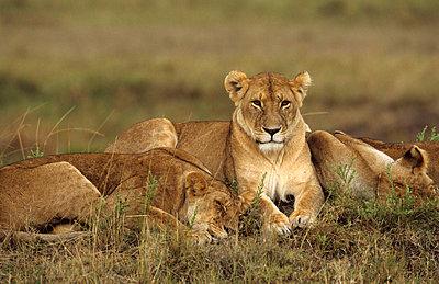 Nationalpark in Kenia - p3300396 von Harald Braun