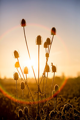 Karden mit Raureif bei Sonnenaufgang - p1057m1502831 von Stephen Shepherd
