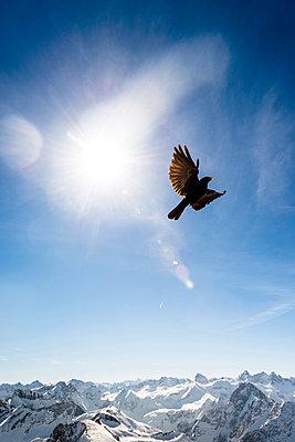 Germany, Bavaria, Nebelhorn, jackdaw in the sky - p300m1023008f by Ega Birk