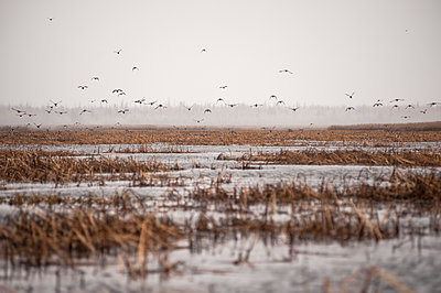 Canadian Geese (Branta canadensis) flying up from reeds in a cloudy skyline; Cumberland House, Saskatchewan, Canada - p442m1147915 by Thomas Fricke