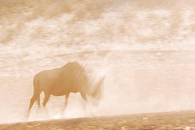 Gnu im Gegenlicht, Kalahari, Afrika - p1065m982582 von KNSY Bande