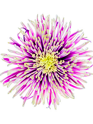 Chrysanthemum flower - p401m2272895 by Frank Baquet