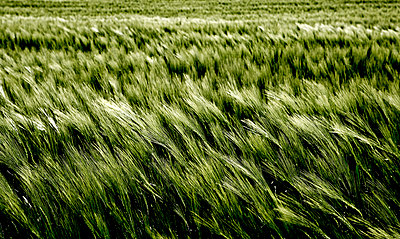 Barley - p1221m1028487 by Frank Lothar Lange