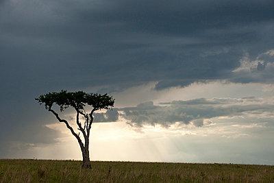 Akazie in Afrika - p5330239 von Böhm Monika