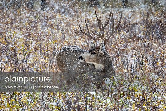 Mule deer (Odocoileus hemionus) buck lying down in the brush during a snowfall; Denver, Colorado, United States of America - p442m2113639 by Vic Schendel