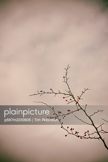 Dog rose with red rose hip berries against cloudy sky - p597m2230605 by Tim Robinson