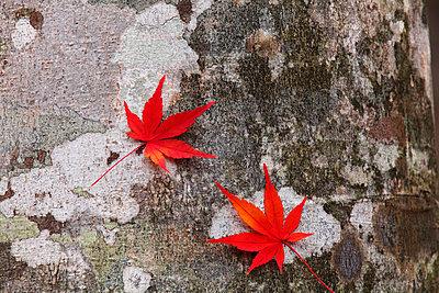 Autumn leaves - p307m974268f by Mamoru Muto