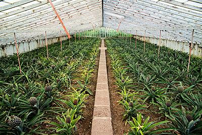 Ananas plantation; Faja de Baixo, Sao Miguel, Azores - p442m1191377 by Dosfotos