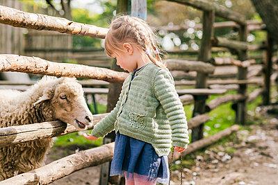 Girl (2-3) feeding sheep in pen - p924m2271222 by Tamboly