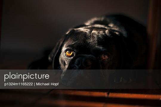 Porträt eines schwarzen Mops - p1324m1165222 von michaelhopf