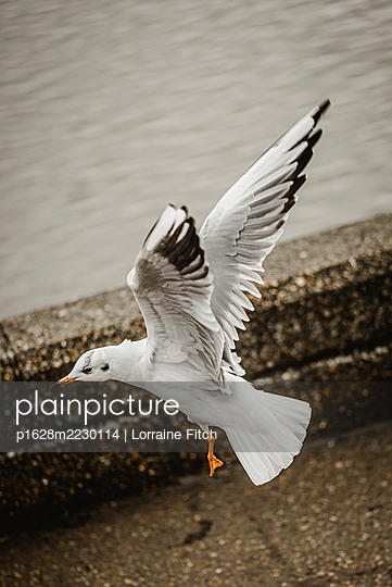 Möwe flapping wings and landing - p1628m2230114 by Lorraine Fitch