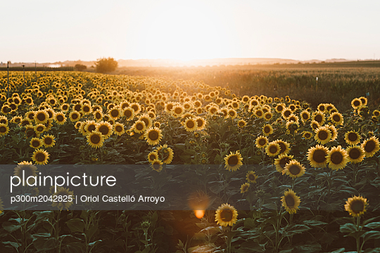 Field of blooming sunflowers at sunrise
