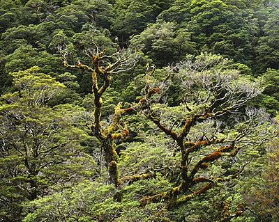 Regenwald in Neuseeland - p1016m792595 von Jochen Knobloch