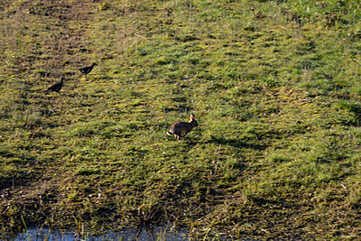 A rabbit running across field - p1291m2181568 by Marcus Bastel