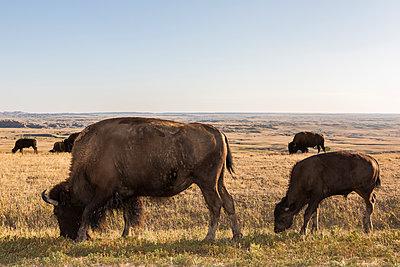 Bison grazing in grassy remote field, Badlands National Park, South Dakota, United States - p555m1231872 by John Duarte