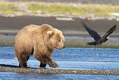 Grizzly Bear walking along water and scaring away Common Raven - p884m864132 by Matthias Breiter